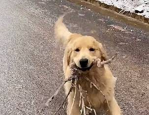 Very Excited golden retriever slides over icy route while trying to deliver a tree branch to his owner as a gift